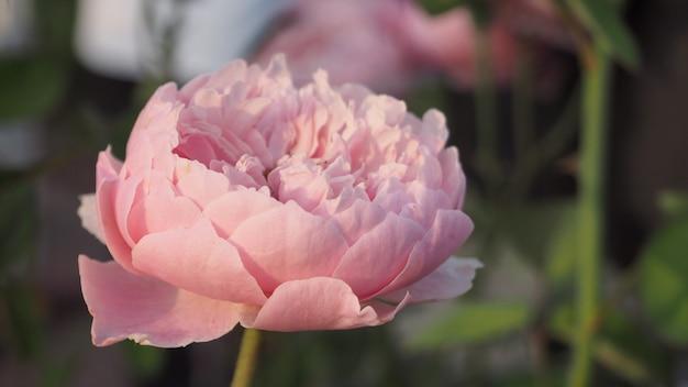 Ns。セシリアバラの花。ピンク色です。北海道では。