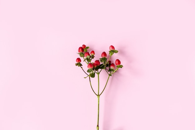 St john's wort, red st john's wort, red fruit on a branch on a pink background