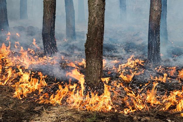 松林での安定した地面火災