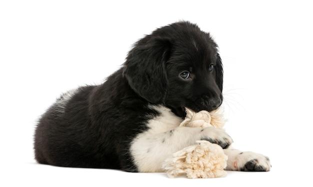 Щенок stabyhoun, лежа жевать игрушку веревку, изолированные на белом