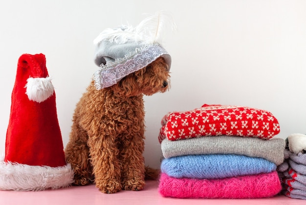 Next to a stack of christmas sweaters sits a small poodle in a gray hat with a feather