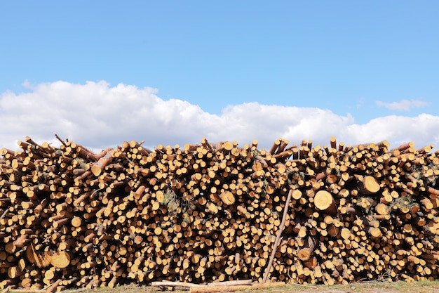 Stack of cut pine tree logs in a forest. wood logs, timber logging, industrial destruction, forests are disappearing, illegal logging. selective focus.
