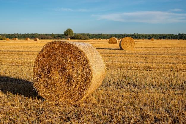 Стек спелой пшеницы на поле золотых цветов в хорошую солнечную погоду летом на сельскохозяйственных угодьях