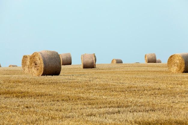 畑の藁の積み重ね小麦の収穫後に藁の干し草を積み上げた農地