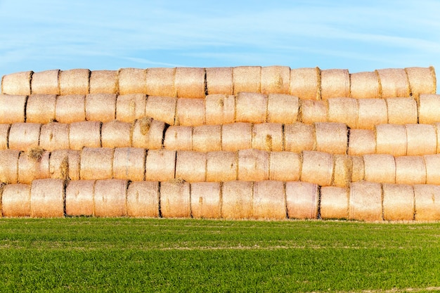 들판에 짚 더미-짚 건초 더미가 누워 있던 농업 분야