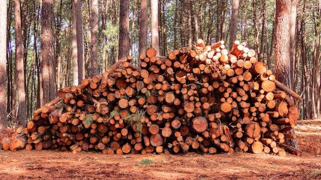 장작을 위한 나무 통나무 더미 소나무 숲 갓 자르고 쓰러진 장작