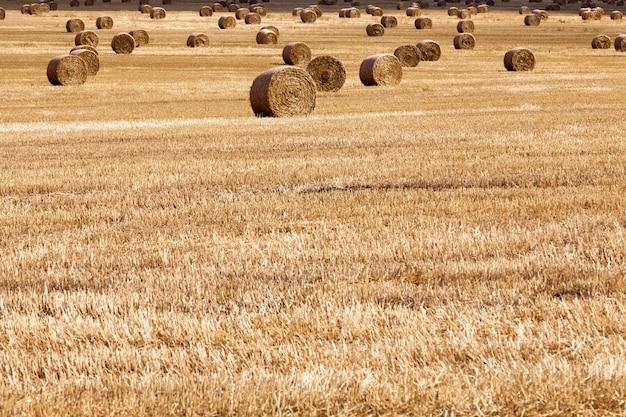 После сбора урожая пшеницы остались стопки пшеничной соломы