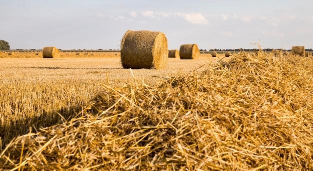 Стеки пшеничной соломы Premium Фотографии
