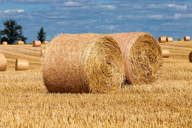Stacks of wheat straw were left after the wheat harvest