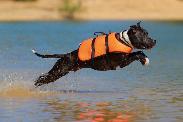 Staffordshire bull terrier diving