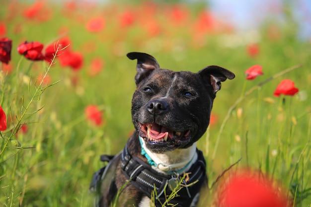 Staffordshire bull terrier in a field