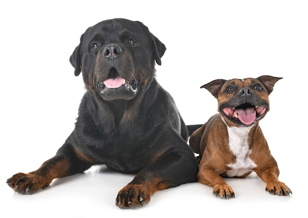 Staffordshire bull terrier and rottweiler