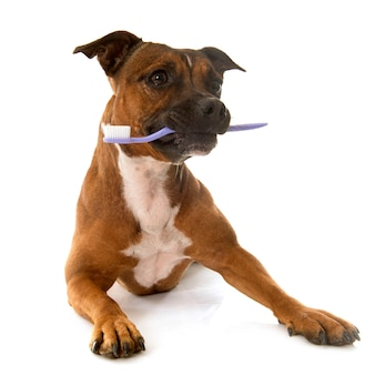 Staffordshire bull terrier and toothbrush