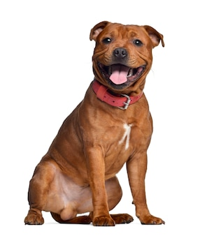 Staffordshire bull terrier with red collar, isolat