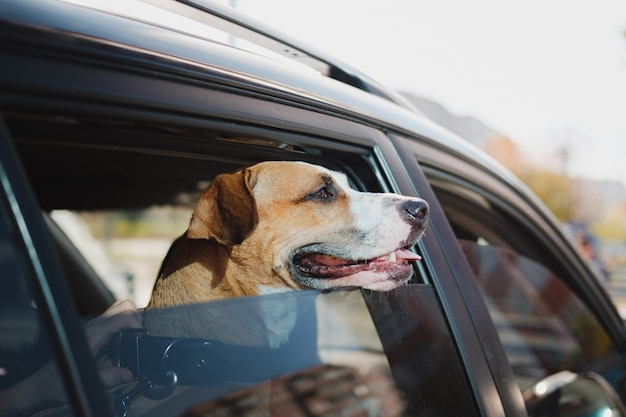 Staffordshire terrier looks out of a car window on a bright sunny day. the concept of transporting or travelling with pets in the car or leaving a dog alone in a vehicle