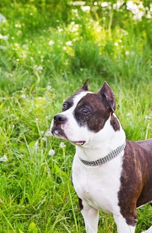 Staffordshire terrier on a meadow
