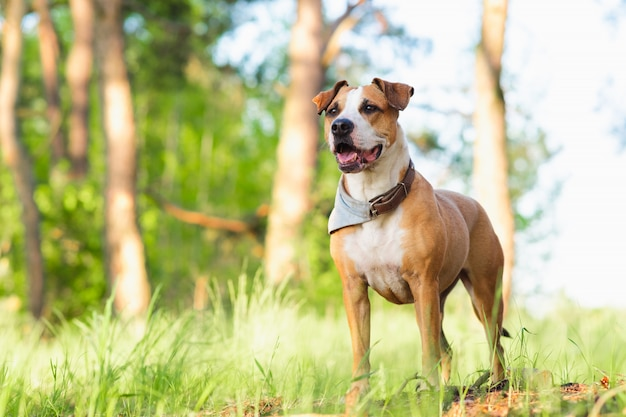 Staffordshire terrier mutt outdoors, happy and healthy pets concept