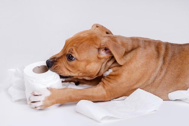 スタッフォードシャーテリアの子犬とトイレットペーパーのロール