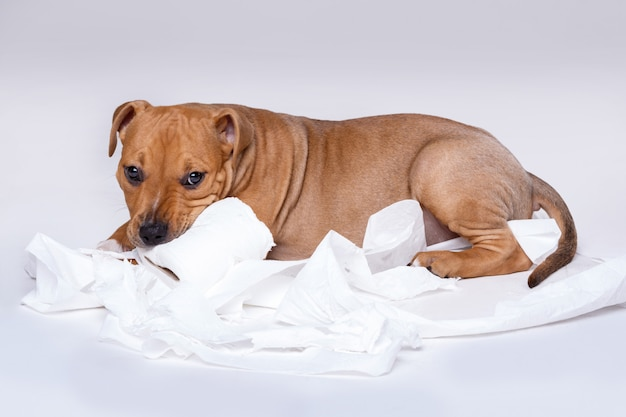 Staffordshire terrier puppy and roll of toilet paper