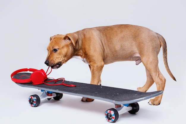 Staffordshire terrier puppy and skateboard