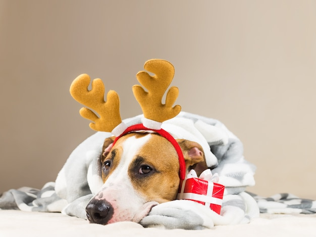 Staffordshire terrier puppy in throw blanket and with reindeer christmas toy horns in bed with new year present. funny young pitbull dog