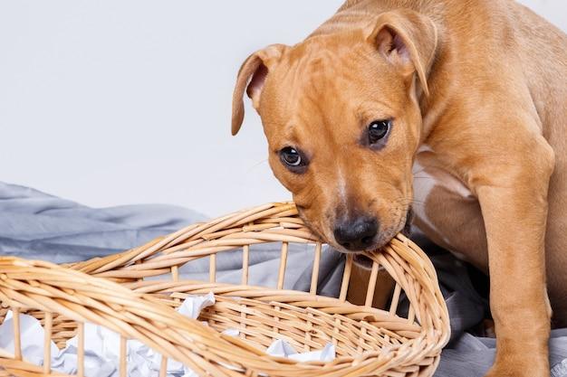 Staffordshire terrier puppy and wicker basket