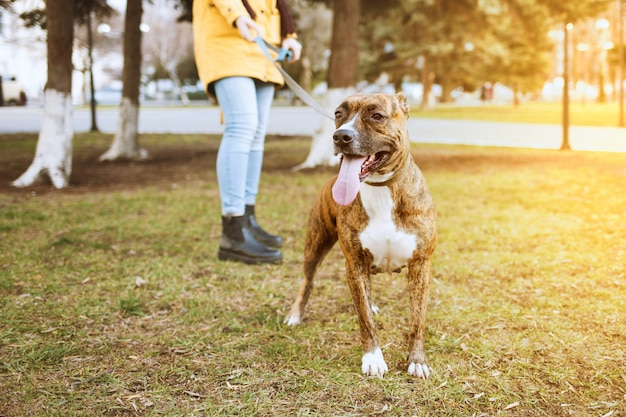 Staffordshire terrier for a walk in the park. behind is a girl holding a dog on a leash