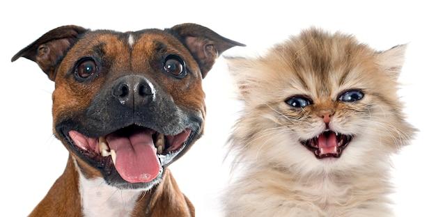 Stafforshire bull terrier and persian kitten