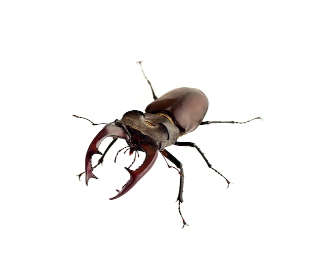 Stag-beetle closeup isolated on white