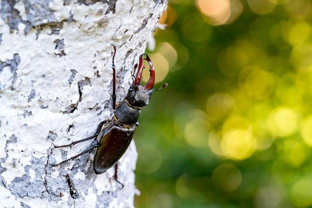 Жук-олень lucanus cervus на природе в естественной среде обитания