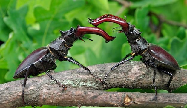 オークの森のクワガタムシ。 2人の男性の決闘。