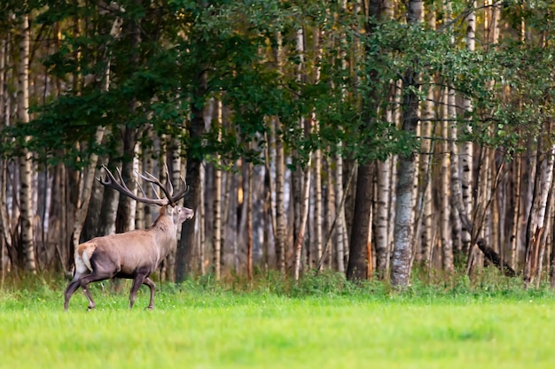 Stag red noble deer with large horns in grass field against autumn forest.