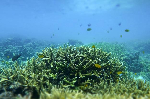 ミャンマーのコックバーン島の海の下のクワガタ