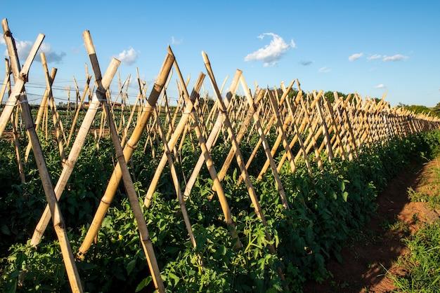 토마토 생산에 사용되는 대나무로 만든 말뚝.