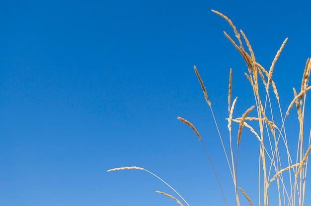 Stalks of dry grass against the sky