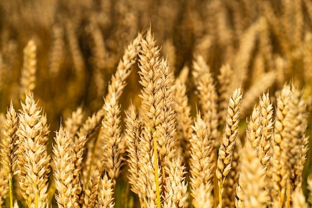 Стебли пшеницы трепещут на ветру в поле.