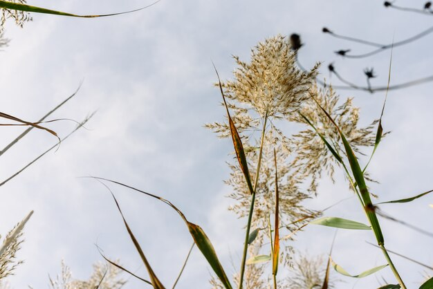 Stalks and seeds of water reeds seen from the moist soil against the blue sky