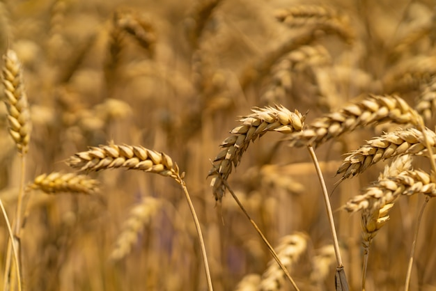 Stalks of wheat sway with the wind in the field. close-up