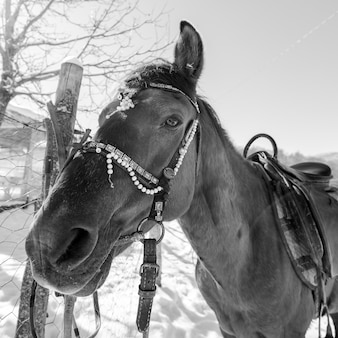 Stallion on a leash by the fence on a winter day