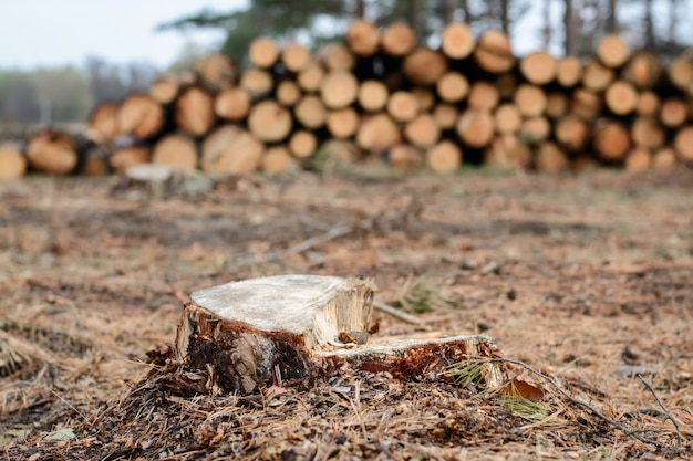 Stamp of pine tree near  stacked trunks in the forest. logging in the pine forest.