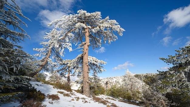キプロスのトロードス山脈で冬の間に雪の中でスタンドアロンの古い黒松の木