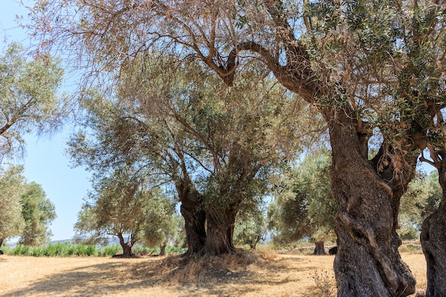 A stand of old olive trees plantation