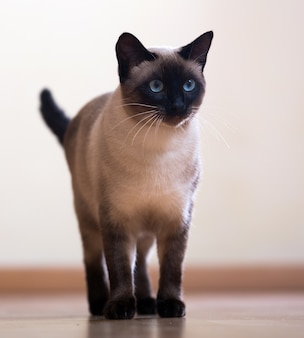 Standing adult siamese cat