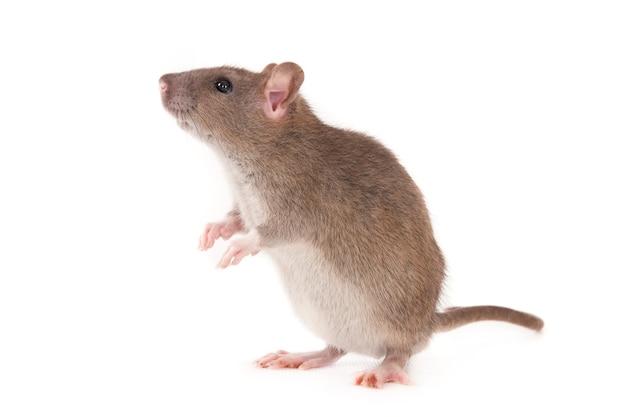 Стоящая и нюхающая домашняя крыса. изолированные на белом.