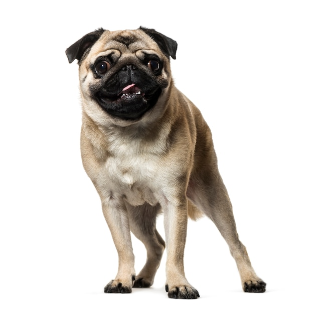 Постоянный бежевый мопс собака смотрит в камеру, изолированные на белом