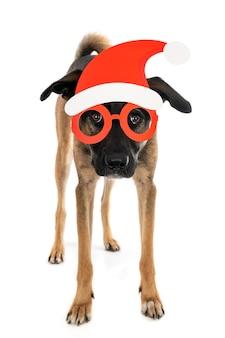 Постоянный помесь собаки в шляпе санта с очками. изолированные на белом.