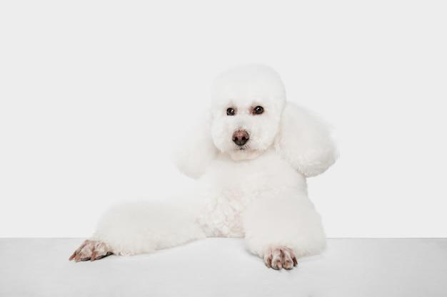 In piedi. barboncino bianco o animale domestico sveglio del cane lanuginoso che salta sullo studio bianco.