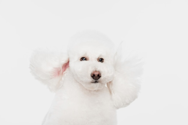 Standing. cute downy dog white poodle or pet jumping on white studio.