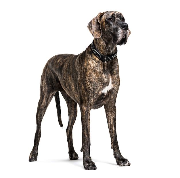 分離された立っているグレートデーン犬