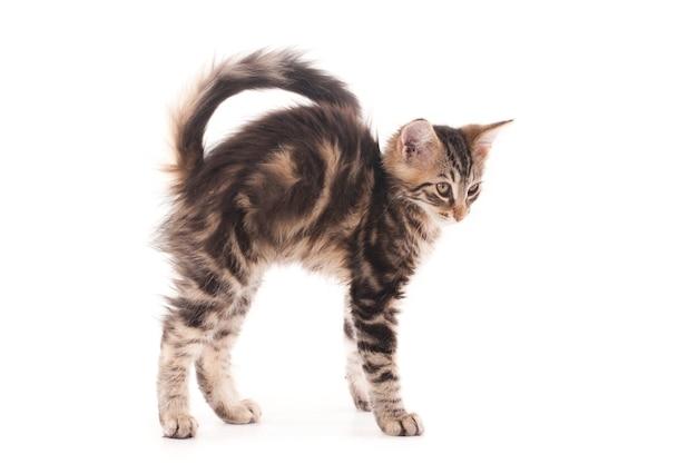 Стоящий котенок с изогнутой спиной.